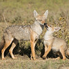 Mother golden jackal with pup. Near Ndutu Safari Lodge 11Feb2015 by John A. Worrell