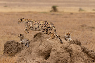 Mother Cheetah jumping off to chase food for cheetah cubs in Serengeti National Park