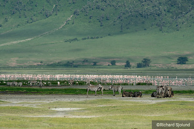 Zebras and Flamingos in the  Ngorongoro Crater in Tanzania