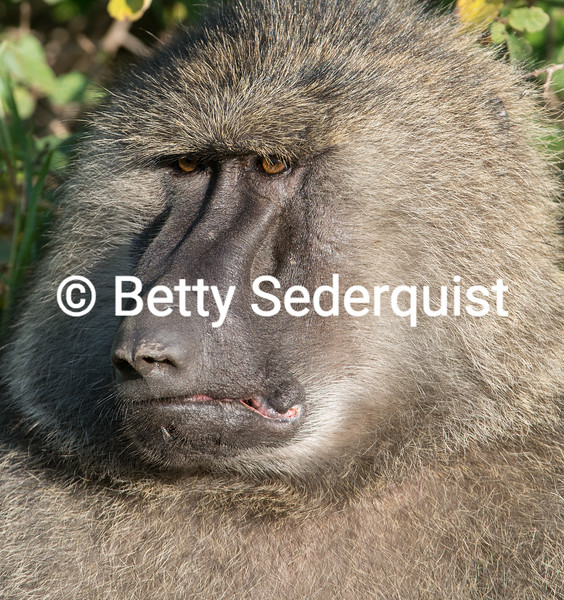 Baboon Male Closeup