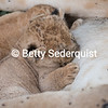 Nursing Baby Lion