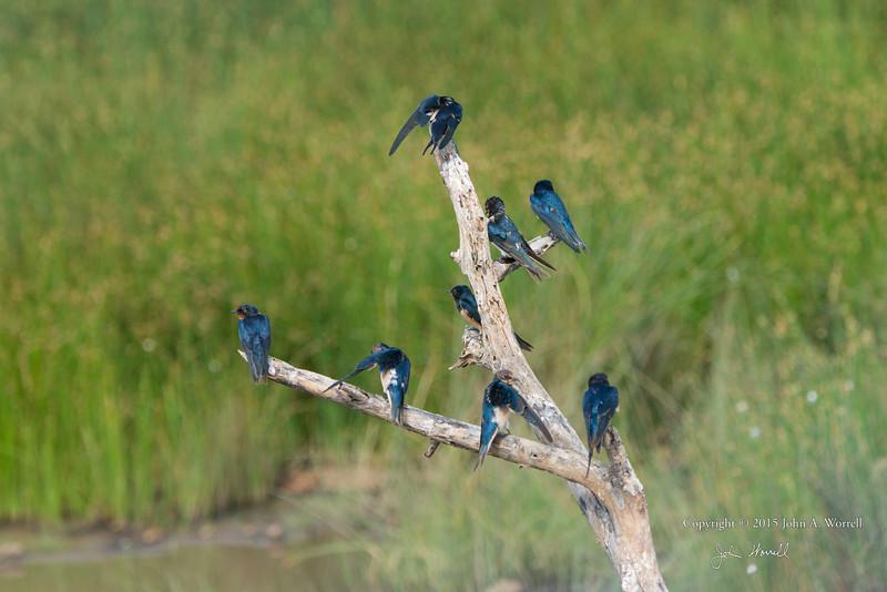 Barn swallows on a branch. Serengeti. 8Feb2015 by John A. Worrell
