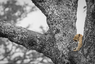 Leopard in Acacia tree, Serengeti National Park