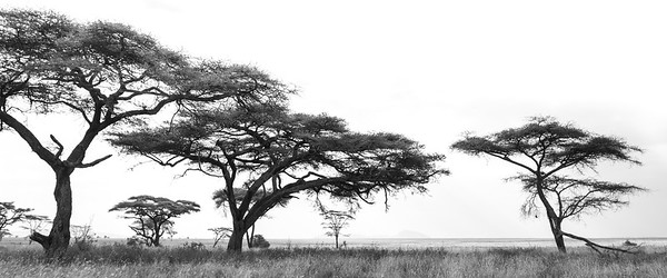 Acacia Trees on the Serengeti III