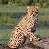 Cheetah cub; ~6 month old female