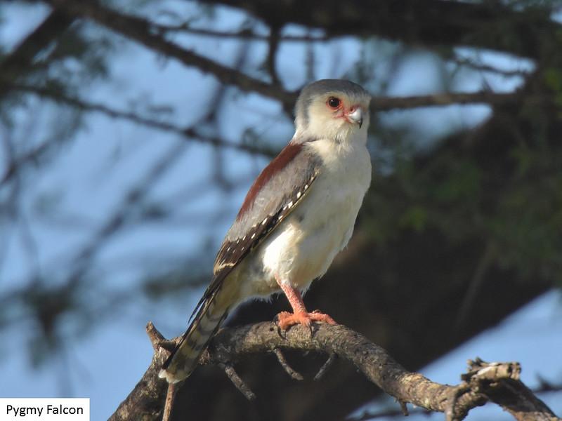 Pygmy Falcon.  Taken by Murray King, February 2015.