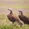 Lappet-faced vultures, Hidden Valley, Ndutu, Tanzania, Christer Widlund, Febr. 2014.