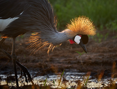 Sunrise touched Crowned Crane