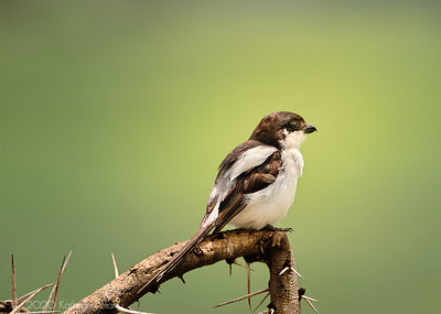 Variable Shrike adjusted