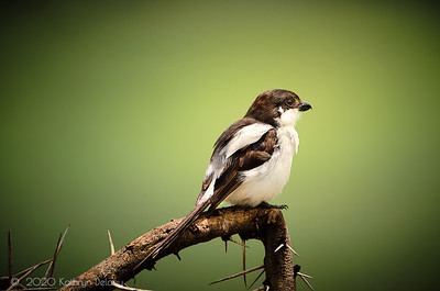Variable Shrike