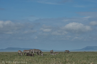 Zebra on the Serengeti