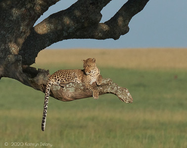 Leopardess in the tree