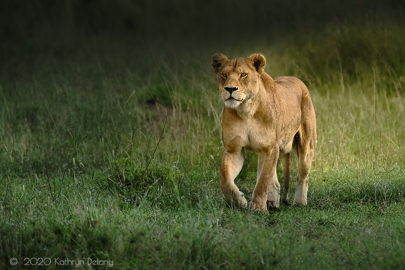 Lioness On The Move