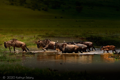 Wildebeest crossing a pool of water