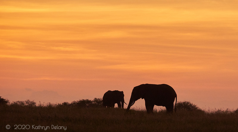 Two elephants in silhouette at sunrise