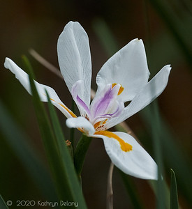 African Iris - taken at Gibbs Farm
