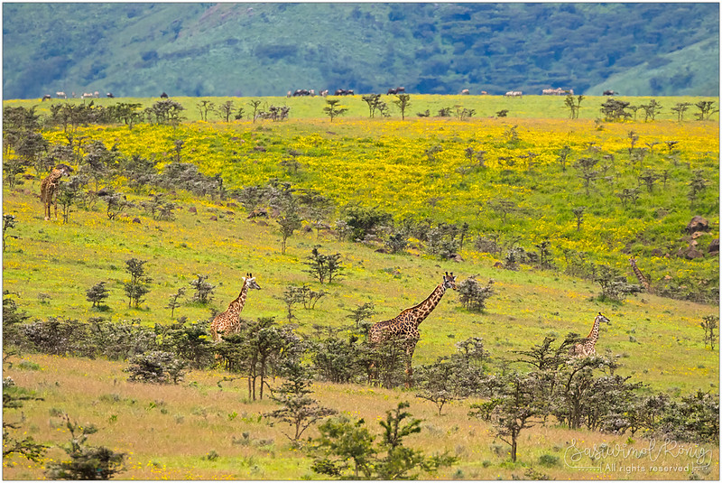 Giraffes feeding on the whistling thorn