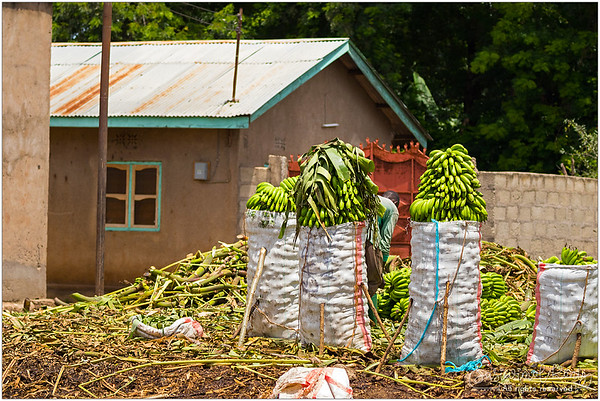 Bundles of cut banana stems on the ground and the ready to transport ones in sacks