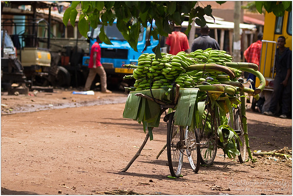 A pile of green bananas stacking on a bicycle.. watching the world go by