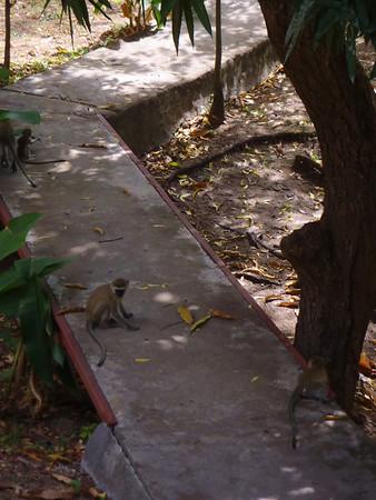 Monkey fun and THEN SUM'!  Tanzania!