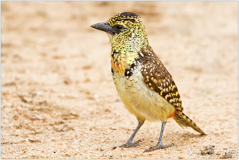 D'Arnaud's barbet - with lovely black & yellow streaked upper-parts