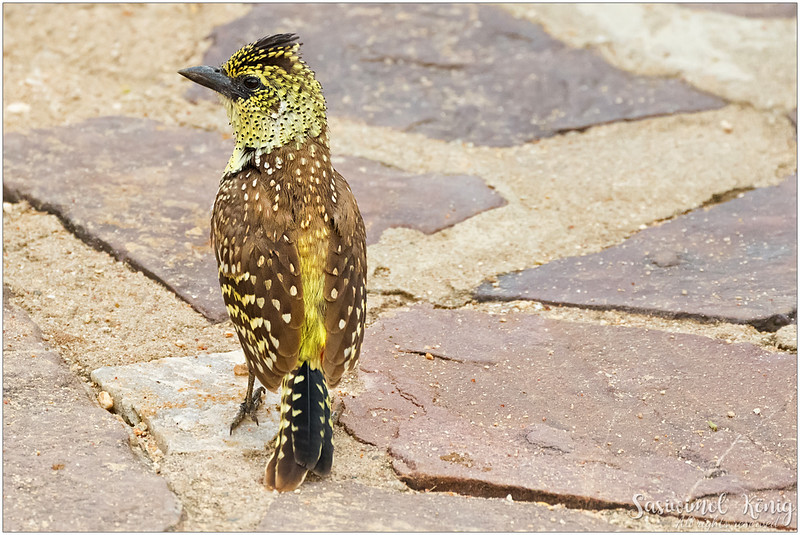 D'Arnaud's barbet - showing the back !
