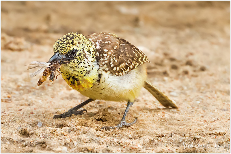 D'Arnaud's barbet - found snacks