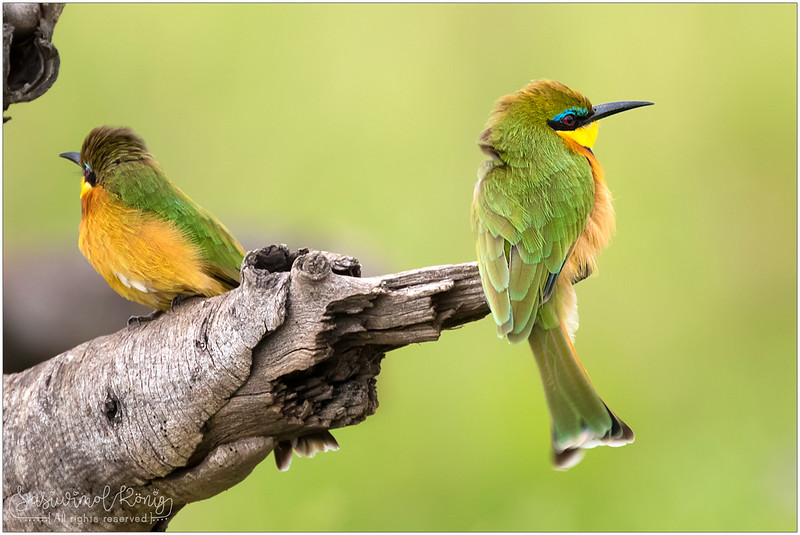 Closer look at the Little Bee-eater