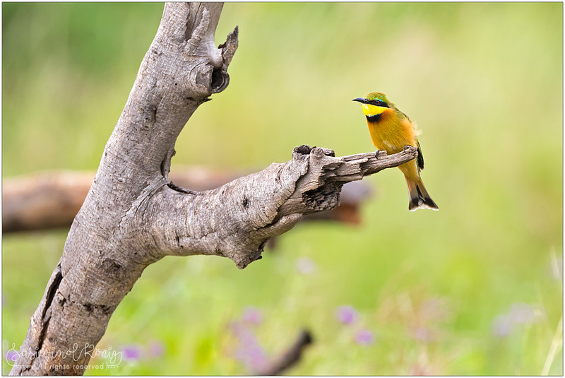 Little Bee-eater, perching cautiously