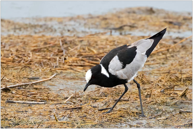 Blacksmith lapwing (Blacksmith plover) foraging for food