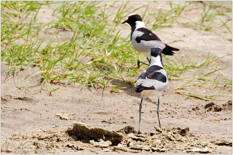 Blacksmith lapwing (Blacksmith plover) picnic by the lake