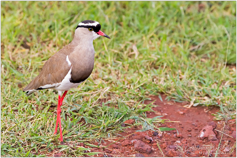Crowned lapwing (Crowned plover) with black and white striped head, red and black bill. Legs are also red