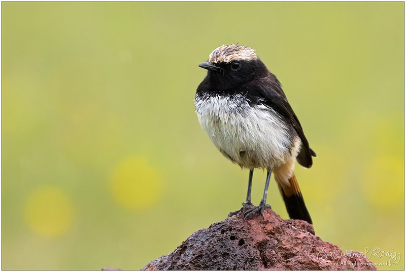 Schalow's Wheatear (male). Isn't he so handsome?