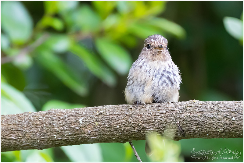 Spotted flycatcher with streaked crown and breast
