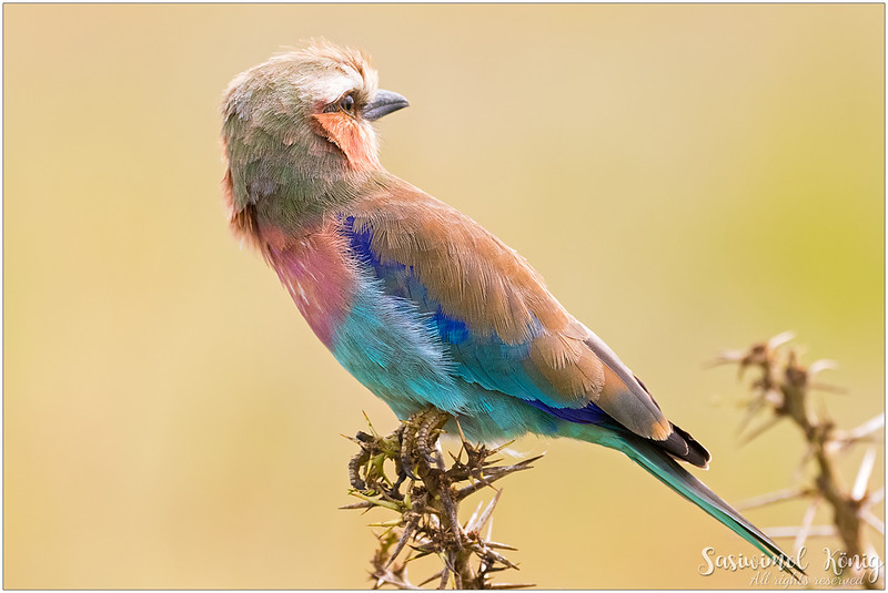 Lilac Breasted Roller with olive mantle