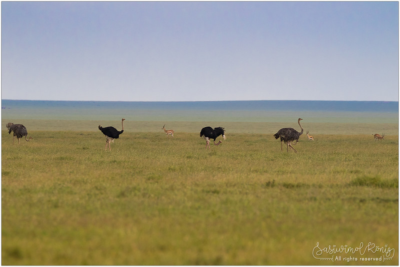 Male and female Ostriches with long curving neck
