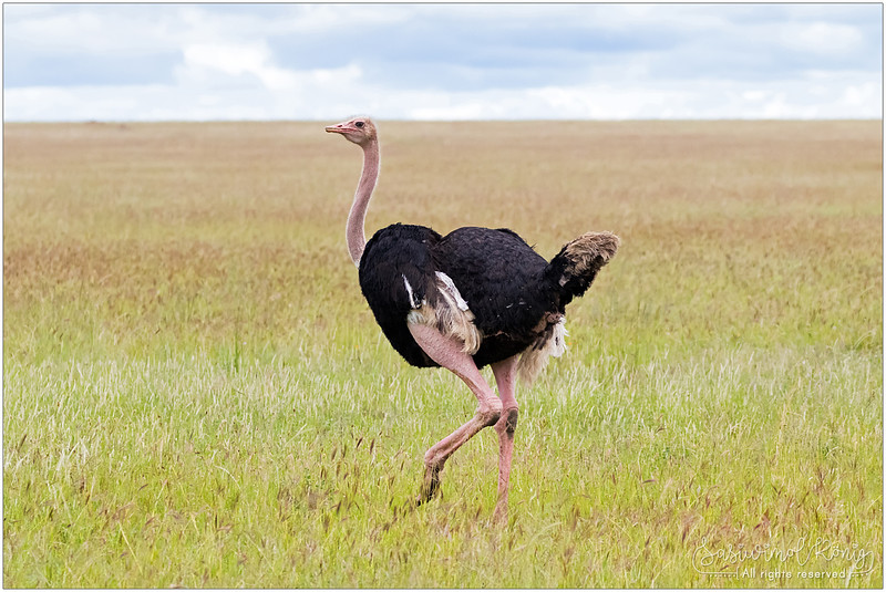 Male Ostrich with humped body and tipped tail