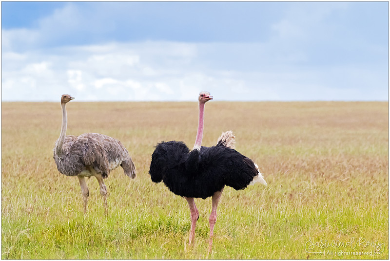 Female and male Ostrich