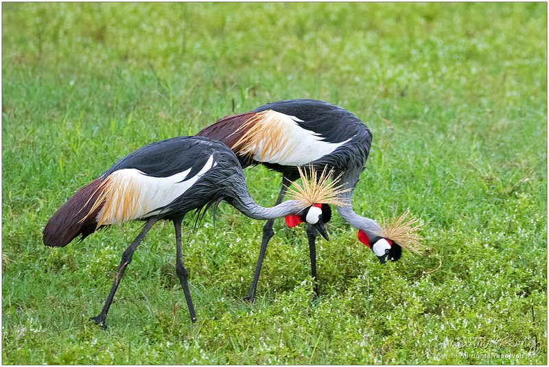 White cheeks and red wattles on Grey-crowned Crane's face