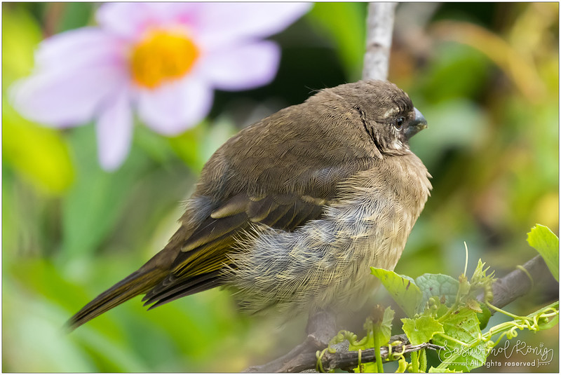 Thick-billed seedeater with an absentminded look