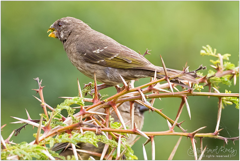 Thick-billed seedeater busy eating