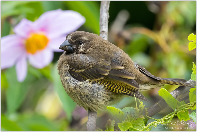 Thick-billed seedeater with Tree dahlia flower