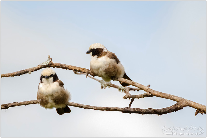 Northern white-crowned shrike (White-rumped shrike), hanging out up high