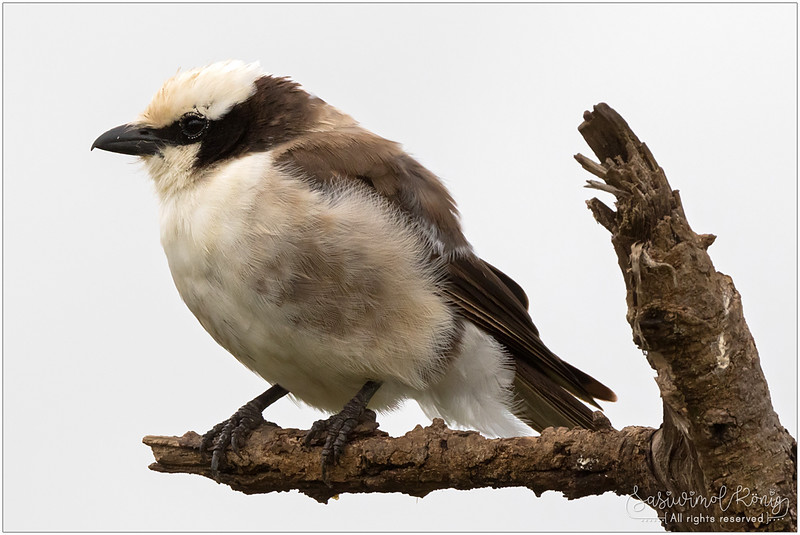 Northern white-crowned shrike (White-rumped shrike), hooked beaks make life easier