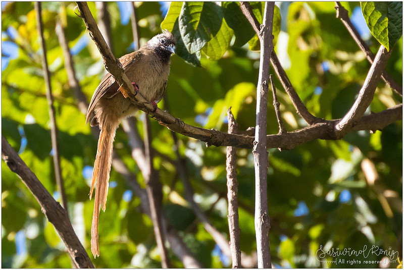 Speckled mousebird with long tail