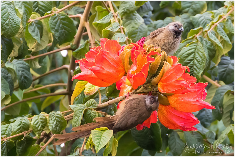 Speckled mousebirds on African Tulip tree