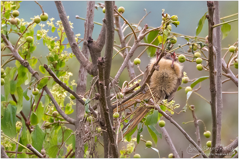 Speckled mousebird nibbling fruit quietly