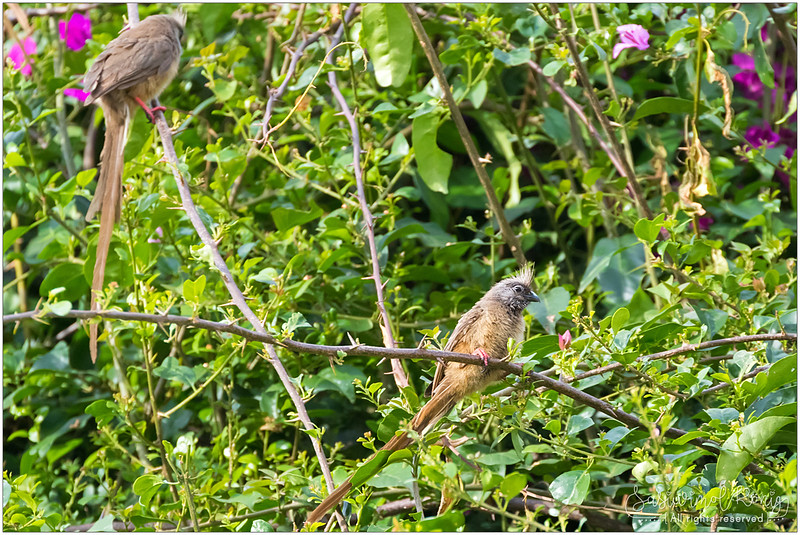 Speckled mousebird on paper flower tree