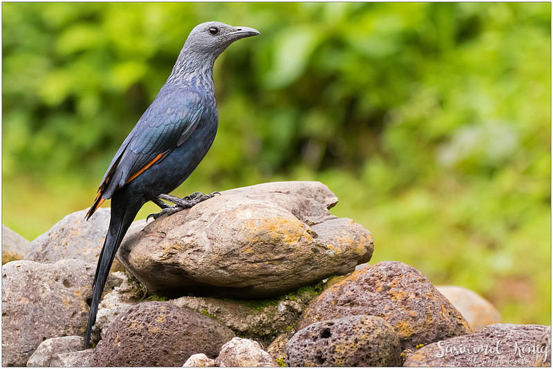 Red-winged starling perching proudly!