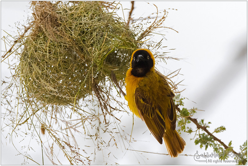 Lesser masked weaver - home sweet home?